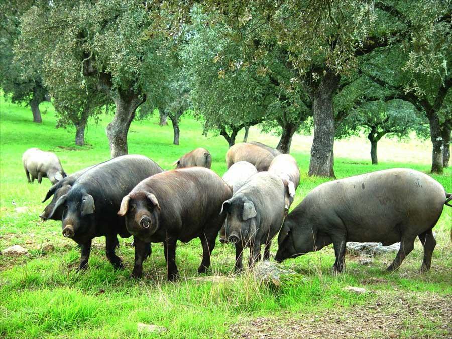 cerdo-iberico-en-dehesa-mijadas-y-trujillo
